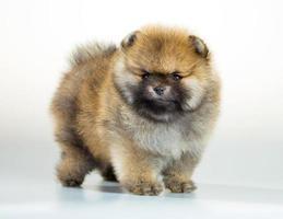 cucciolo di Pomerania su sfondo bianco