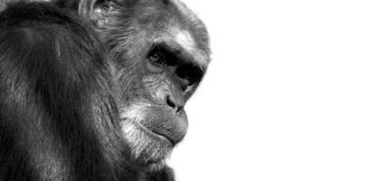 scimmia isolata foto