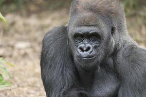 Gorilla di Silverback della pianura occidentale foto