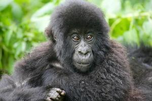 gorilla di montagna (gorilla beringei beringei) foto