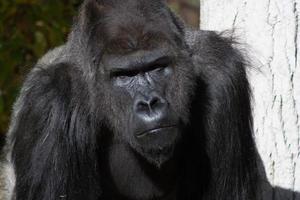Gorilla Silverback 2 foto
