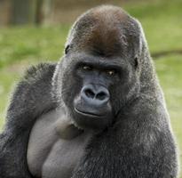 gorilla con un'espressione di contemplazione sul viso foto