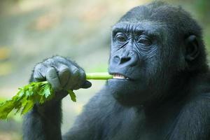 primo piano del gorilla