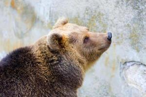 orso bruno nello zoo foto