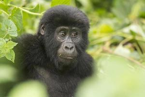 giovane gorilla di montagna nella foresta foto