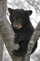 cucciolo di orso nero (ursus americanus) nella struttura ad albero foto
