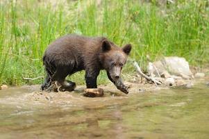 cucciolo di orso bruno foto