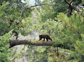 cucciolo di orso nero sul ramo foto