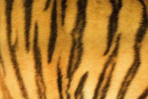 trama di pelliccia di tigre (reale) foto