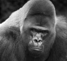 testa di gorilla in bianco e nero foto