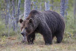 braunbaer, ursus arctos, orso bruno, in cerca di cibo foto
