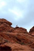 capra di montagna solitaria foto