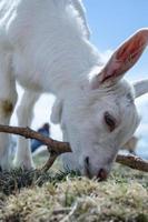 giovane capra che falcia l'erba verde foto