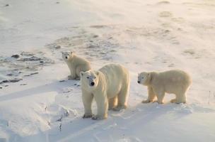 orso polare con i suoi cuccioli