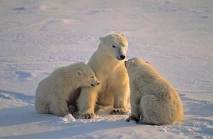 Orso polare semina con i suoi cuccioli gemelli, forte luce di posizione bassa. foto