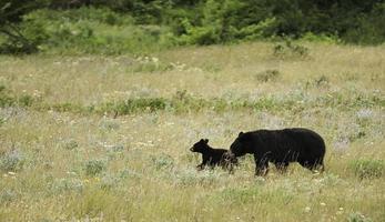 orso nero con cucciolo foto