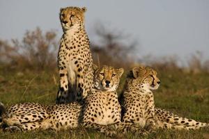 famiglia di ghepardi foto