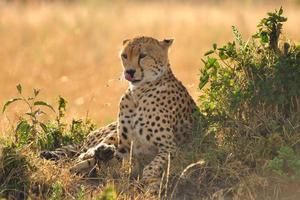 ghepardo pigro