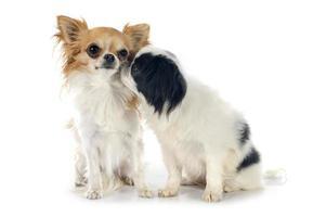 mento giapponese e chihuahua foto
