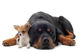 rottweiler e cucciolo di chihuahua