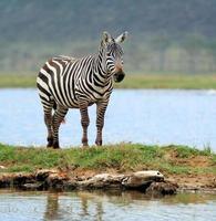 zebra foto
