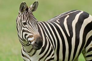 zebra di grant foto