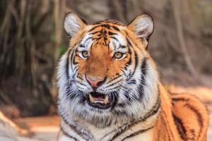 tigre del Bengala foto