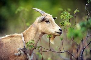 ritratto di capra legata foto