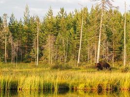 orso bruno (ursus arctos) allo stato brado foto