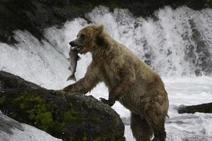 orso grizzly foto