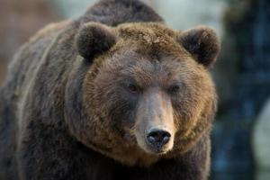 kamchatka orso bruno - ursus arctos beringianus foto