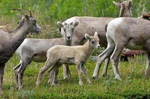giovani capre di montagna foto
