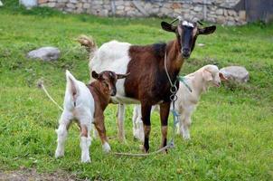 famiglia di capre foto