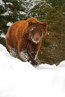 orso bruno foto