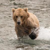 orso che schizza attraverso il fiume con la zampa sollevata foto
