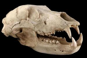 cranio di orso isolato su uno sfondo nero foto