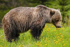 orso grizzly (ursus arctos horribilis) foto