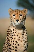 ritratto di ghepardo foto