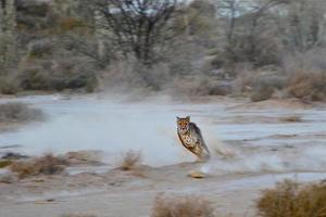 ghepardo in esecuzione foto