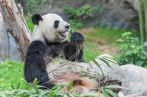 Panda foto