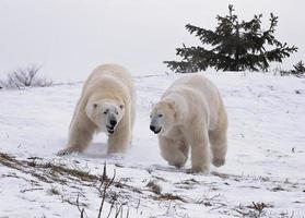 Orsi polari foto