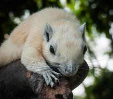 scoiattolo bianco, thailandia