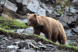 orso bruno nel parco nazionale di denali foto