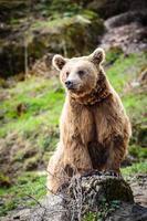 orso bruno (ursus arctos) foto