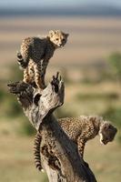 cuccioli di ghepardo che giocano su un trtee morto foto
