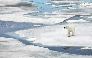 orso polare foto