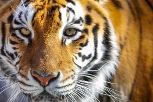 faccia di tigre completamente frontale