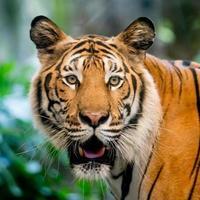 tigre nello zoo foto