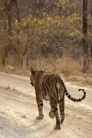 tigre in agguato foto