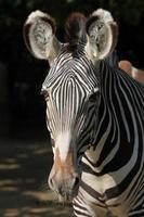 zebra di grevy (equus grevyi), nota anche come zebra imperiale. foto